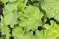 Vrouwenmantel (Alchemilla mollis) d.j.b 02.jpg