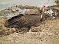 Vulture in Tanzania 3100 Nevit.jpg