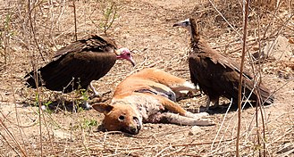 Hooded vulture - Hooded vultures eating a dog in Gambia