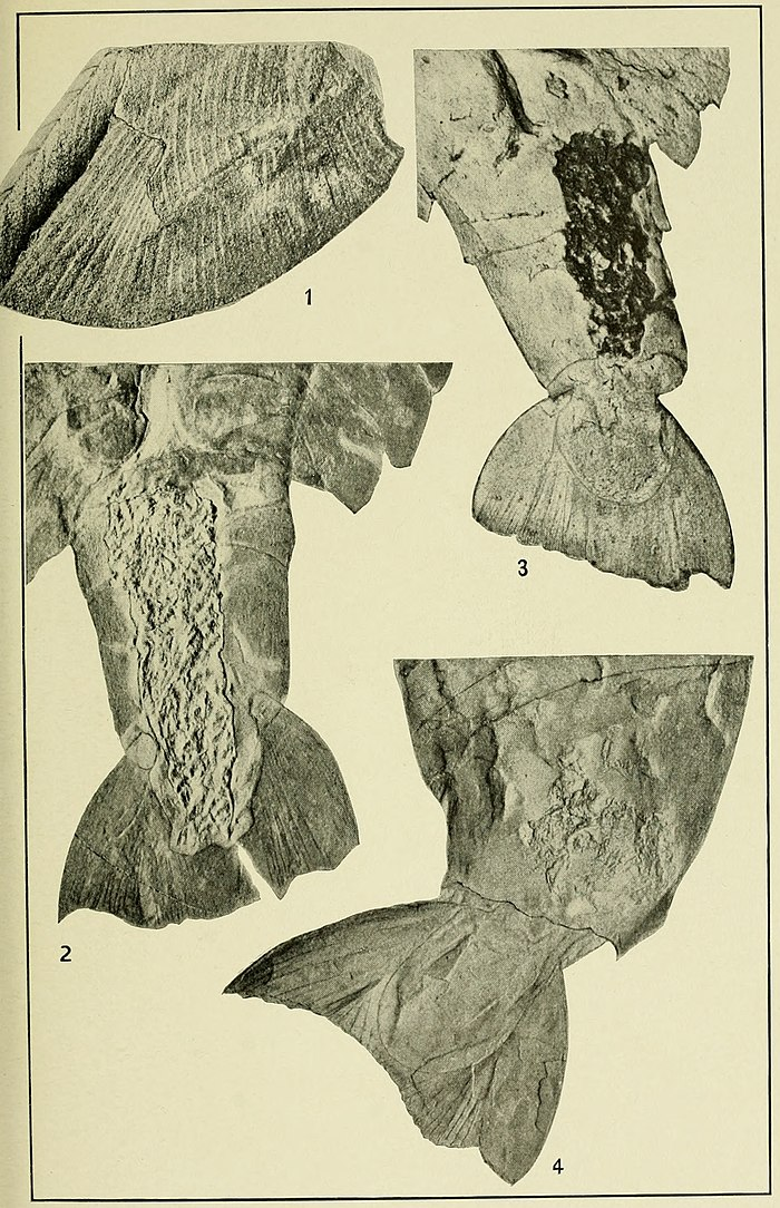 Walcott Cambrian Geology and Paleontology II plate 03.jpg