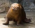 Walrus - Kamogawa Seaworld - pup -1.jpg