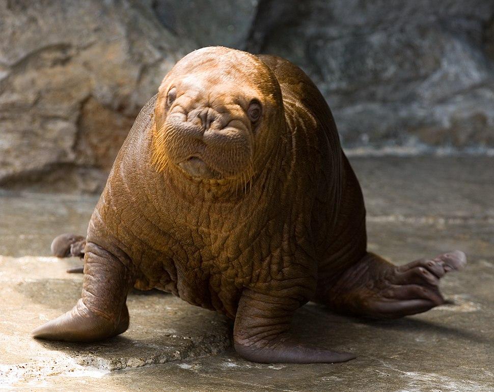 Walrus - Kamogawa Seaworld - pup -1