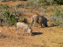 File:Warthog feeding on its knees-001.ogv