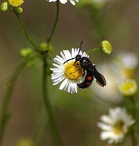 Wasp on erigeron 8188.jpg