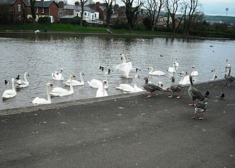 Antrim Road - Several waterfowl make their homes at the man-made lakes of the Waterworks