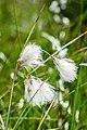 Wełnianka wąskolistna Eriophorum angustifolium, jezioro Torfy, Aleksandrów, Wawer, Warszawa 1.jpg