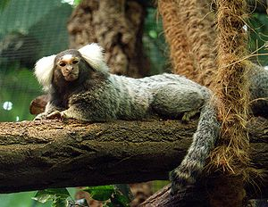English: Common Marmoset (Callithrix jacchus) ...