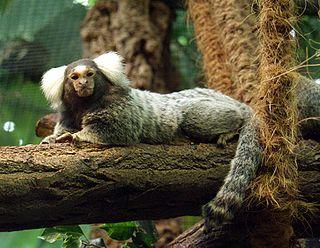 Common marmoset species of mammal