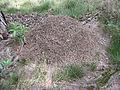 Wekeromse Zand mierenhoop.jpg