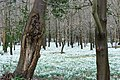 Welford Park snowdrops - geograph.org.uk - 353546.jpg