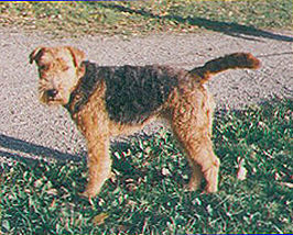 Welshterrier.jpg