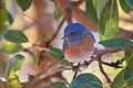 Western Bluebird (30891825304).jpg