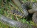 Western Whip Snake (Hierophis viridiflavus) male close-up (Found by Jean NICOLAS) (14066106475).jpg