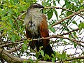 White-browed Coucal (Centropus superciliosus) (7083028955).jpg