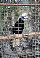 White-crowned hornbill in Pata Zoo 1.jpg