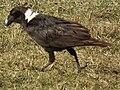 White-necked Raven Corvus albicollis Tanzania 3890 cropped Nevit.jpg