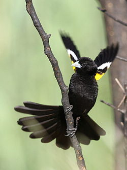 White-winged widowbird, Euplectes albonotatus, male, at Dinokeng Game Reserve, Gauteng-Limpopo, South Africa (15760384004).jpg