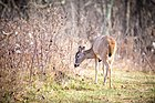 White Tailed Deer (23073007566).jpg