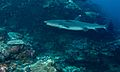 Whitetip Reef Shark (Triaenodon obesus) (6130132475).jpg