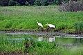 Whooping Crane Family (28557636376).jpg