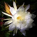 Wiki Loves Earth '17 - Epiphyllum Oxypetalum.jpg