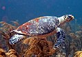 Wild Hawksbill Turtle on the Fathom.JPG