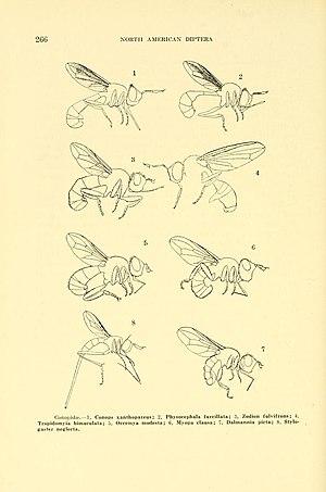 Conopidae - Conopidae morphology