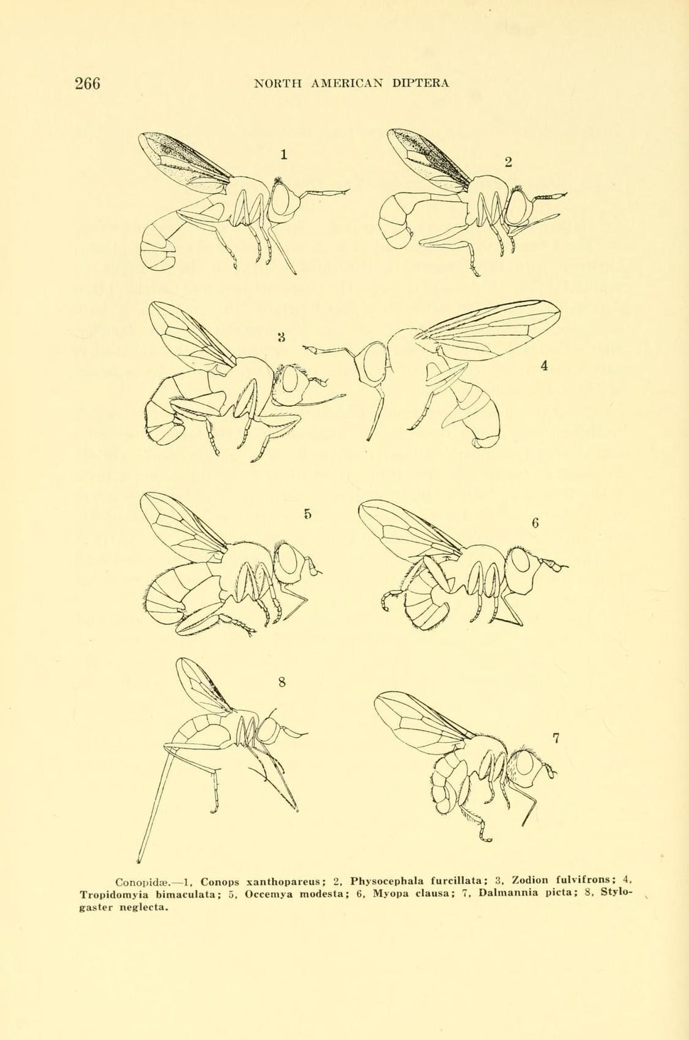 WillistonConopidae