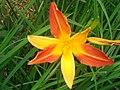 Wonderful Daylily.jpg