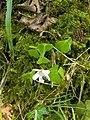 Wood Sorrel (Oxalis acetosella) - geograph.org.uk - 421758.jpg