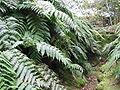 Woodwardia radicans (Habitus).jpg