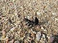 Worpswede Insekt Sept-2015 IMG 6155.JPG