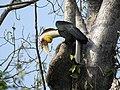 Wreathed hornbill male2.jpg