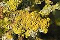 Xanthoria.polycarpa2.-.lindsey.jpg