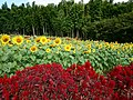 Yamada Sunflower Garden in Miyaki 2016-11-11 02.jpg