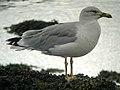 Yellow-legged Gull (Larus michahellis) - geograph.org.uk - 1036168.jpg