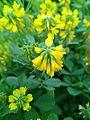 Yellow Flower of Methi.jpg