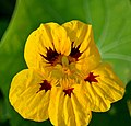 Yellow Nasturtium (14968868518).jpg