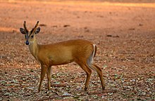 Young male Barking Deer.jpg