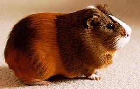 Image De Cochon D Inde cavia porcellus — wikipédia