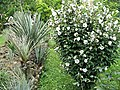 Yucca baccata in cultur 30 year old example Hibiskus B.jpg