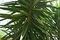 Yucca guatemalensis 1zz.jpg