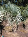Yucca rostrata JOT.jpg
