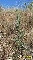 Zakynthos flora (PSN) (35016417450).jpg