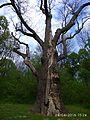 Zalizniak oak tree 03.jpg