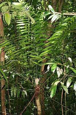 Zamia fairchildiana in Costa Rica