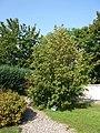 Zatec-Millenniumsbaum.jpg