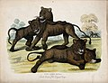 Zoological Society of London; four lion cubs. Coloured etchi Wellcome V0023105.jpg