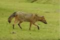 Zorros ( Cerdocyon thous ) en el Palmar, Entre Ríos, Argentina 3.png