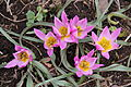 'Tulipa humilis'.jpg